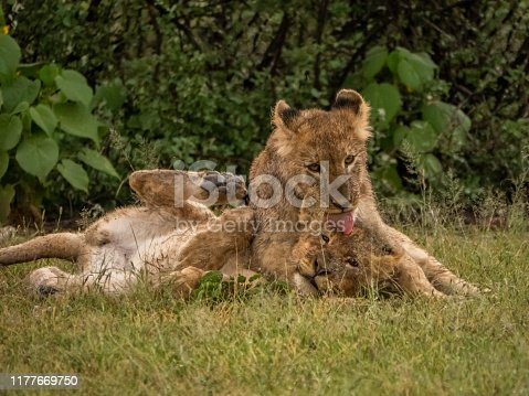 Lion cubs play in the rain