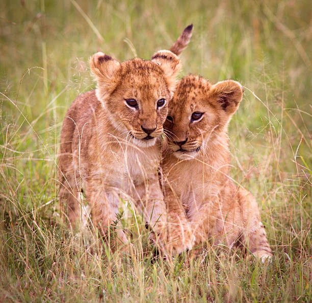 Lion cubs Playful young lion cubs - Masai Mara, Kenya lion cub stock pictures, royalty-free photos & images