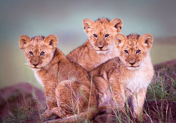 Lion cubs Lion cubs - Masai Mara, Kenya lion cub stock pictures, royalty-free photos & images