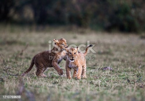 Playful lion cubs in the wild. Copy space.