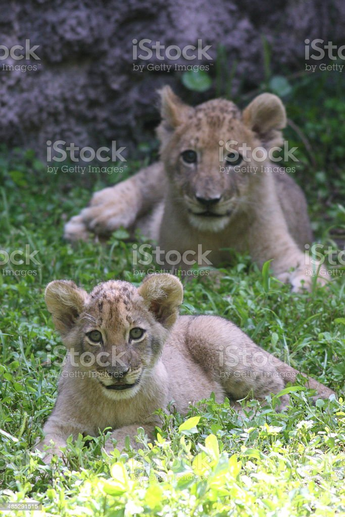 Lion Cubs Playing Lion cubs playing in the grass Africa Stock Photo