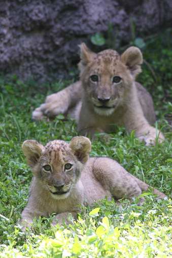 Lion Cubs Playing Stock Photo - Download Image Now