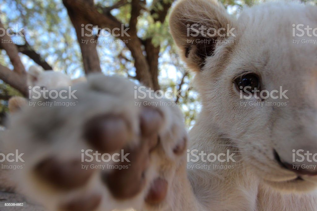 Lion cubs reaching for the camera with its paw. stock photo