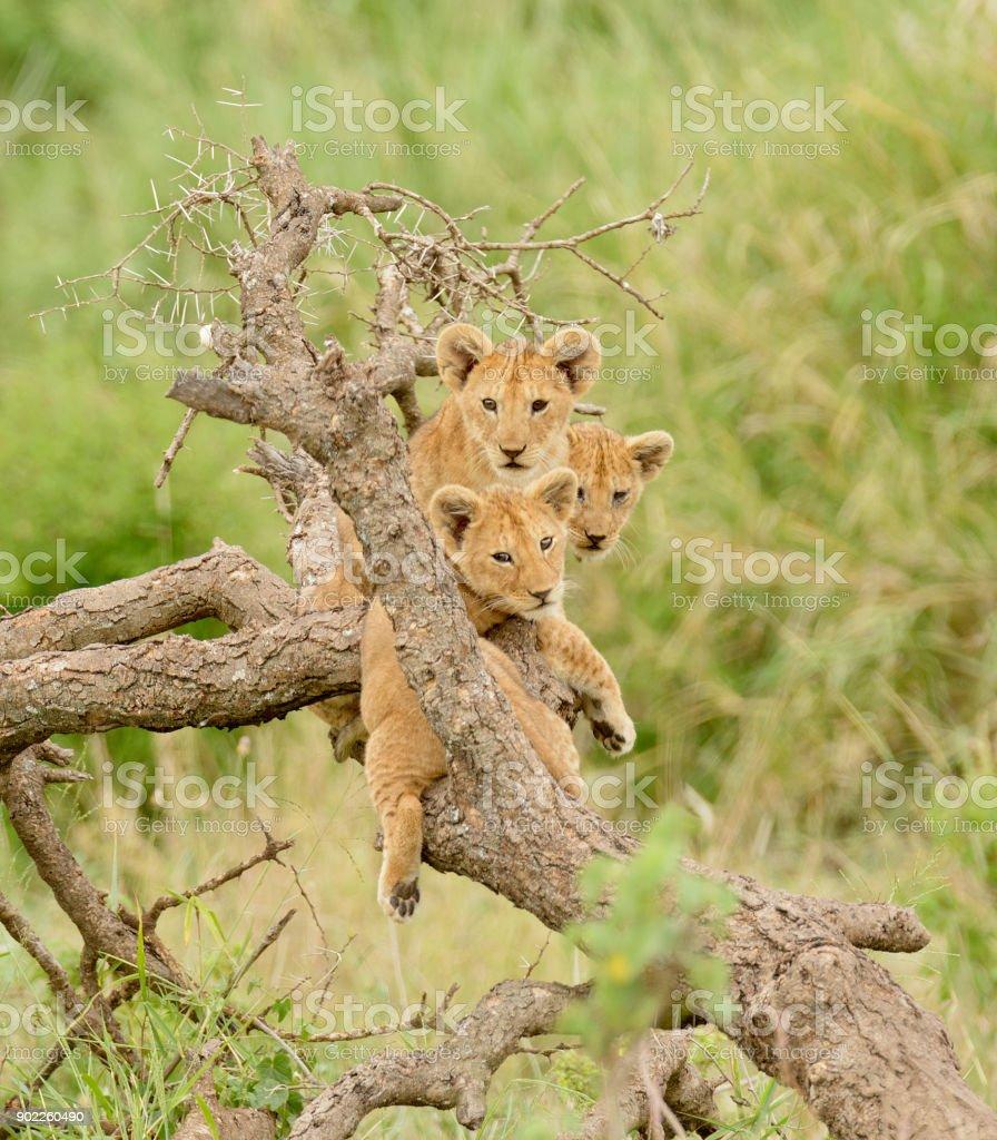 Aslan yavrularını ağaca stok fotoğrafı