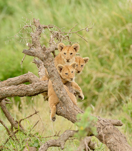 Lion cubs up a tree stock photo