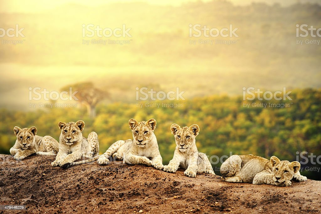 Lion cubs waiting together. stock photo