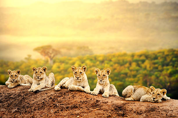 Lion cubs waiting together. Close up of lion cubs laying together waiting upon mother. lion cub stock pictures, royalty-free photos & images