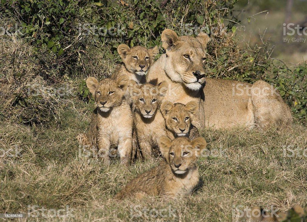 Lion Cubs mit Mutter – Foto