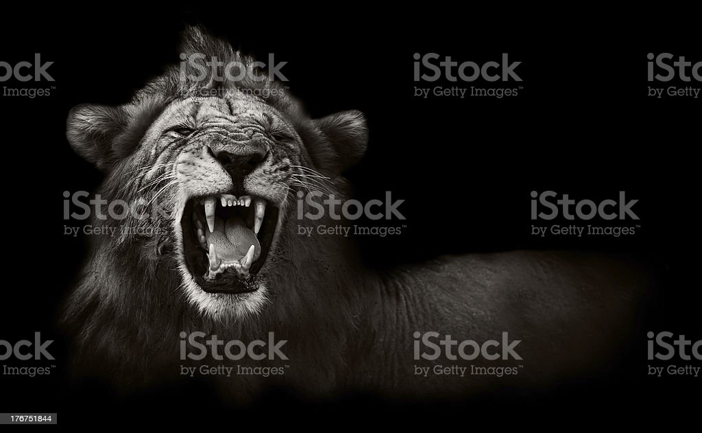 Lion displaying dangerous teeth Wild African male lion showing snarling teeth Activity Stock Photo