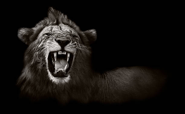 lion displaying dangerous teeth - aggression stock pictures, royalty-free photos & images