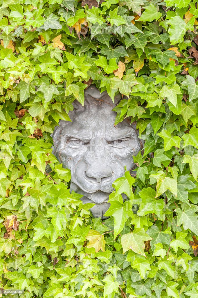 Lion face concrete hidden in green ivy wall, exterior decoration stock photo