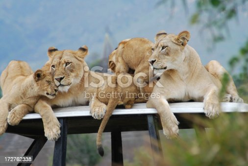 Lion family portrait.  Little one affectionate. Soft background.