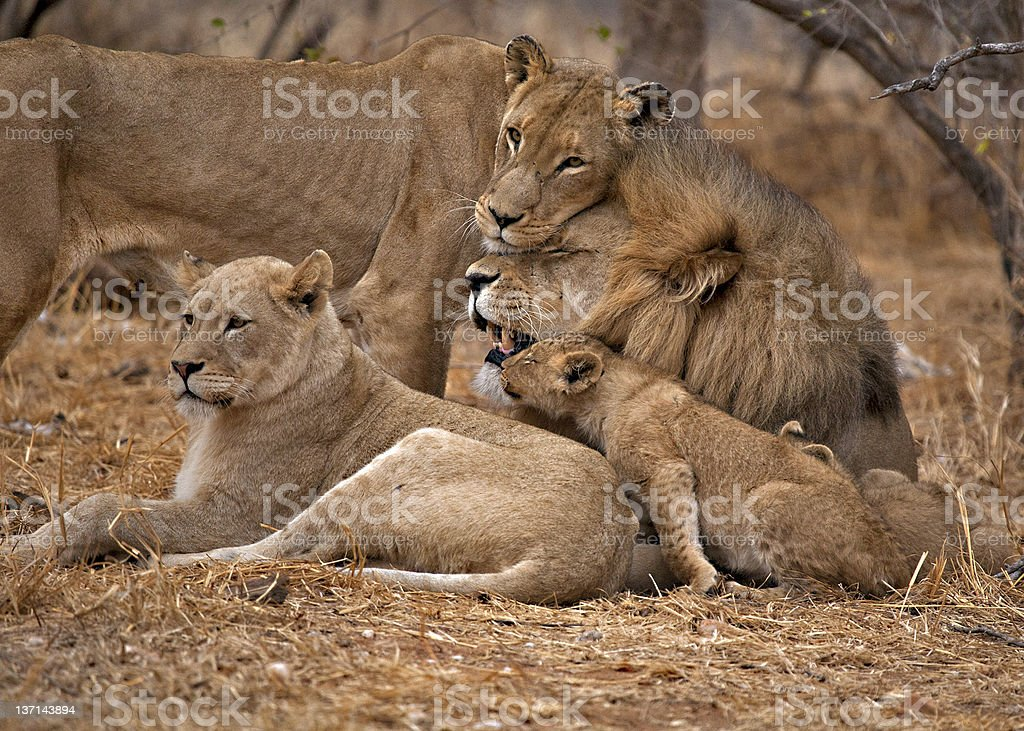 A lion family cuddling in the steppe royalty-free stock photo