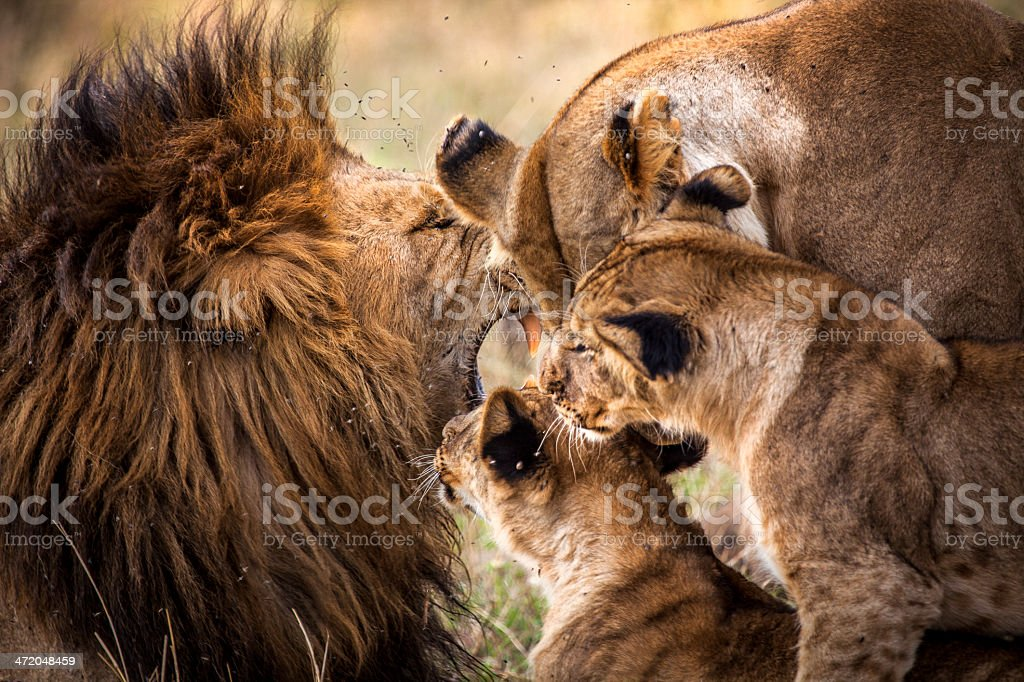Lion family greeting royalty-free stock photo