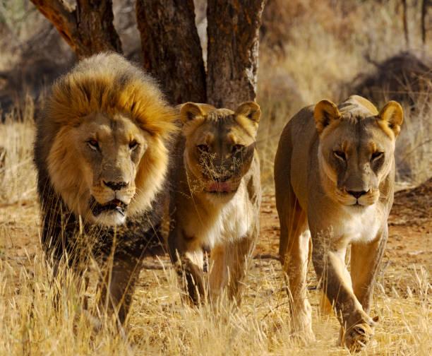 Löwenfamilie in freier Wildbahn – Foto