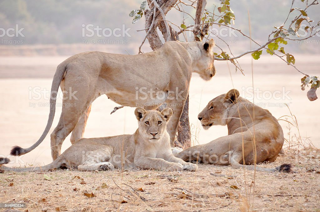 Lion family looking curious stock photo