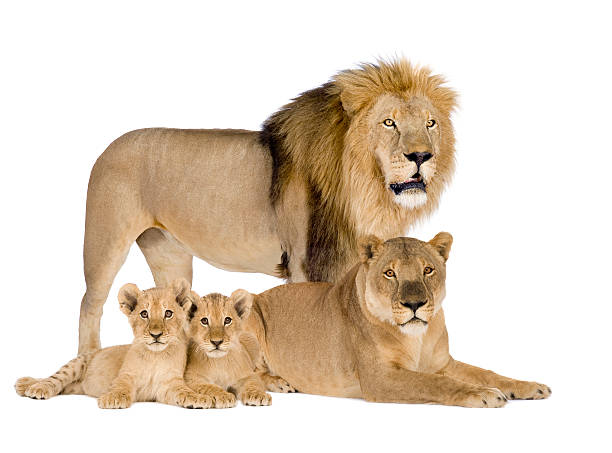 lion family - panthera leo - lioness stock photos and pictures