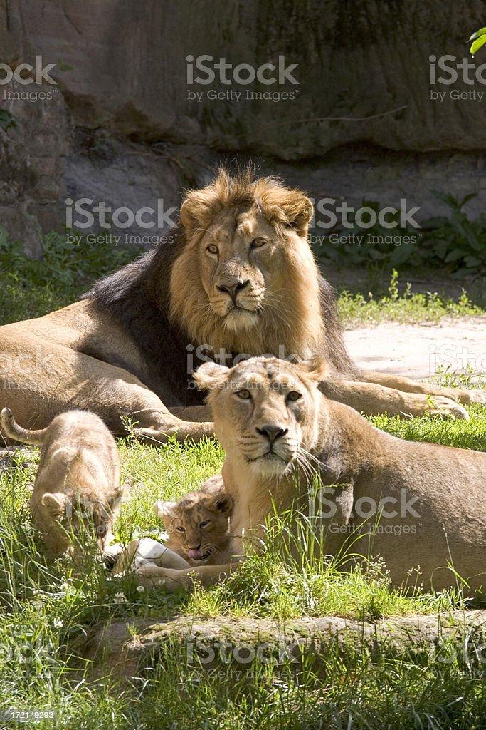 Lion family royalty-free stock photo
