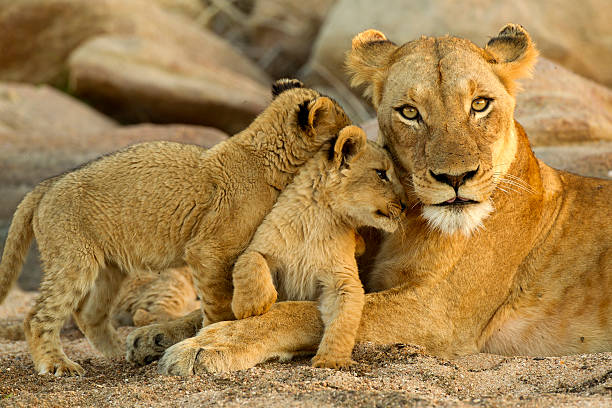 Lion Family young cubs rub up against mom lion cub stock pictures, royalty-free photos & images