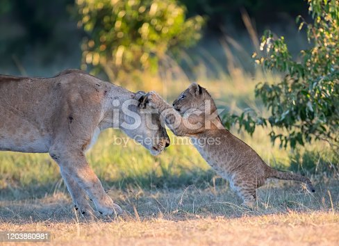 A lion cub playing with its mother. Taken in Kenya