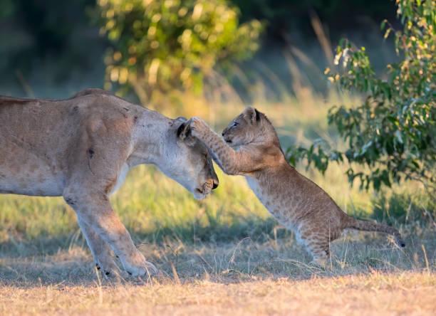 Lion Family Stock Photo stock photo