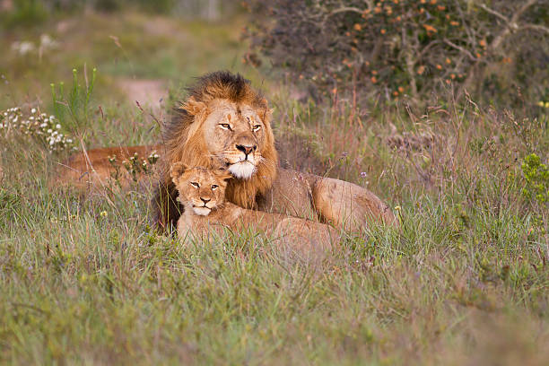 Lion father and cub  male animal stock pictures, royalty-free photos & images