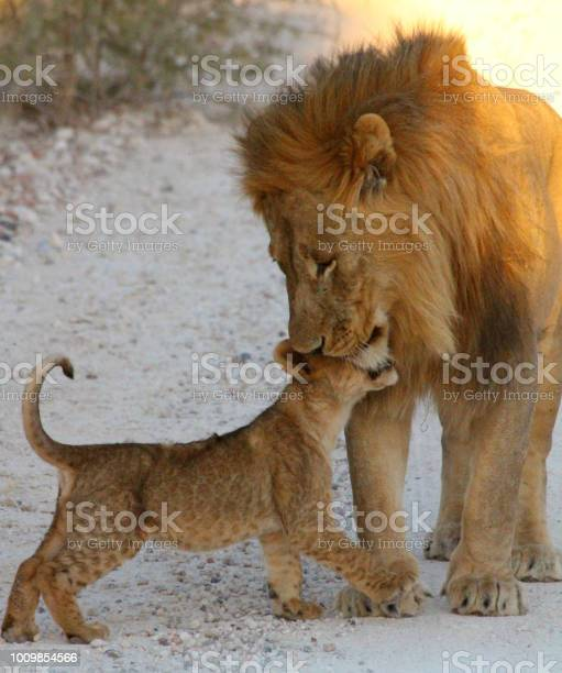Lion father looking over his cub picture id1009854566?b=1&k=6&m=1009854566&s=612x612&h=ozvt8velu9pj ymee7rlqxwohckjwp3dyckjyrvhglw=