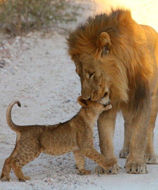 A lion father looking over his cub A male lion and a lion cub cuddle alongside a trek on a private game reserve in Namibia late afternoon. cub stock pictures, royalty-free photos & images