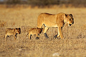 Lion female with small cubs in soft morning light, Etosha National Park, Namibia