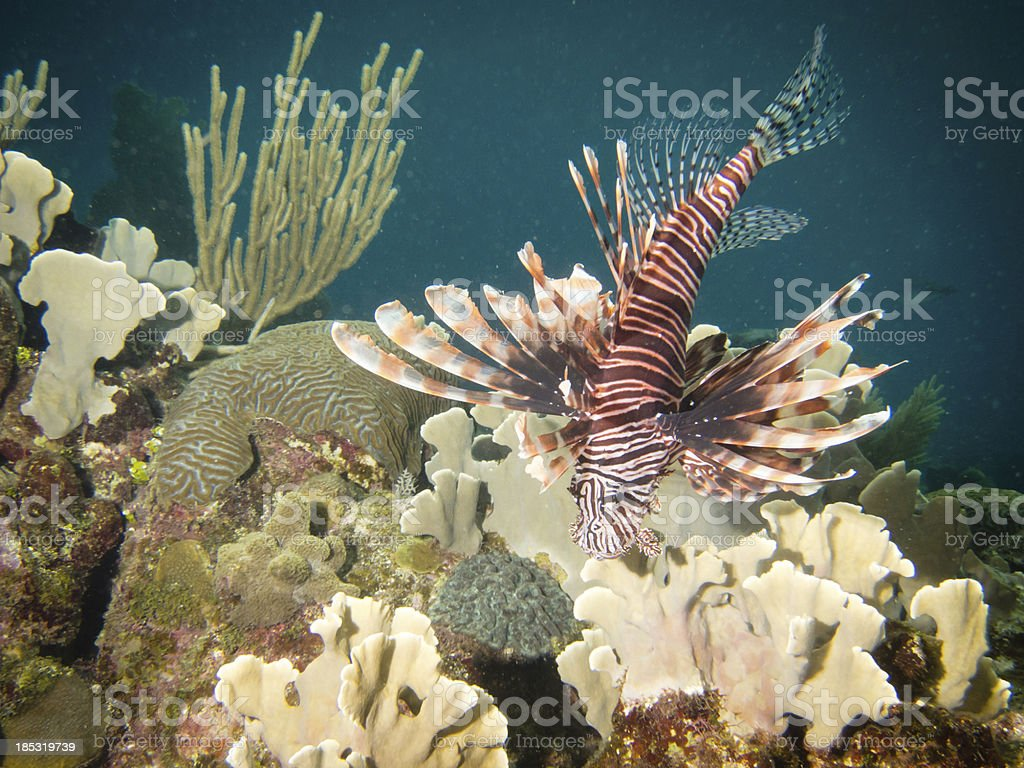 Lion Fish and Coral royalty-free stock photo