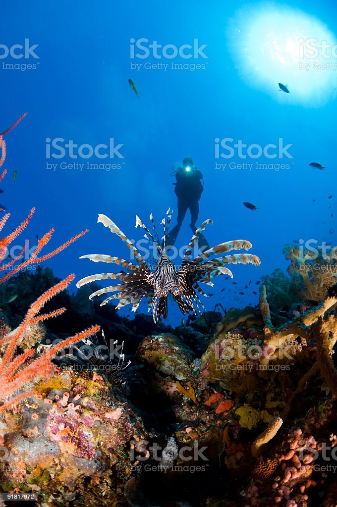 Lion Fish and Diver stock photo