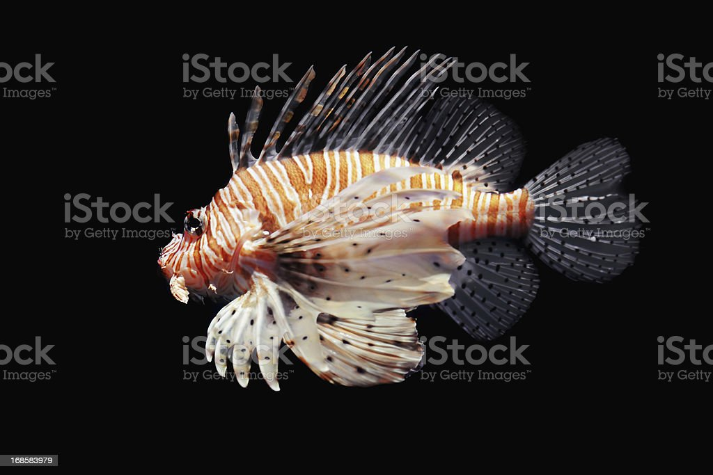 Lion Fish Isolated on black stock photo