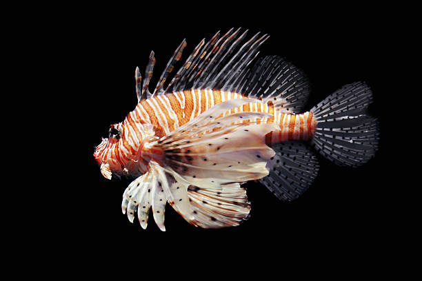 lion fish isolated on black - lionfish stock photos and pictures
