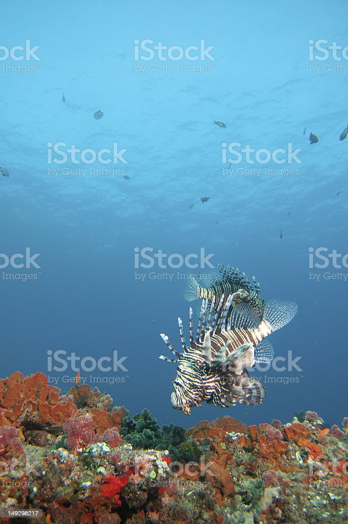 Lion Fish over coral reef stock photo