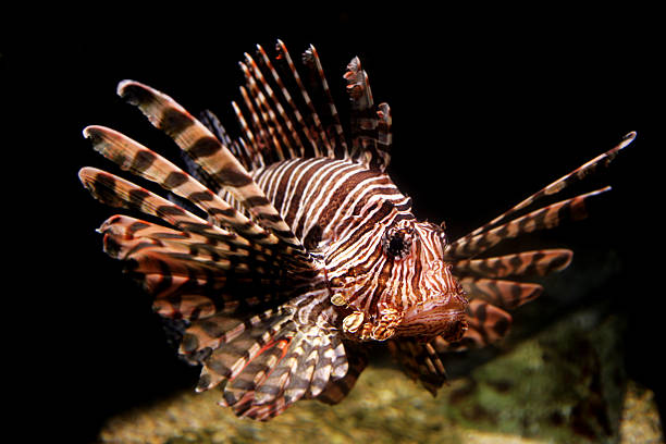 lion fish - lionfish stock photos and pictures