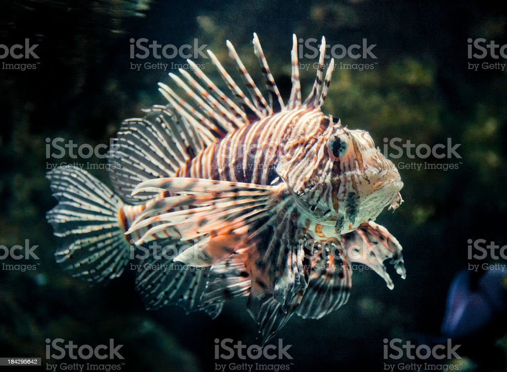 Lion fish royalty-free stock photo