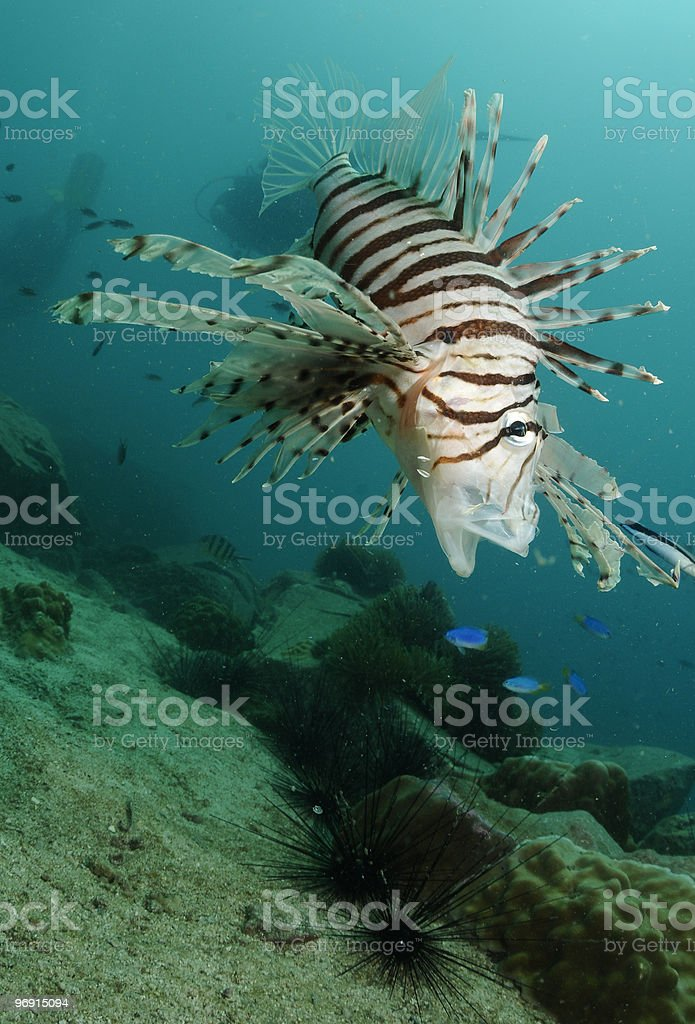 Lion fish royalty-free stock photo