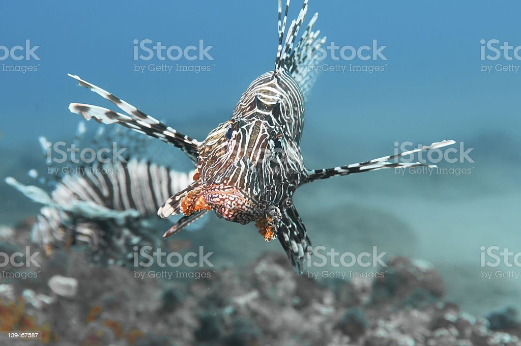 Lion Fish Portrait stock photo