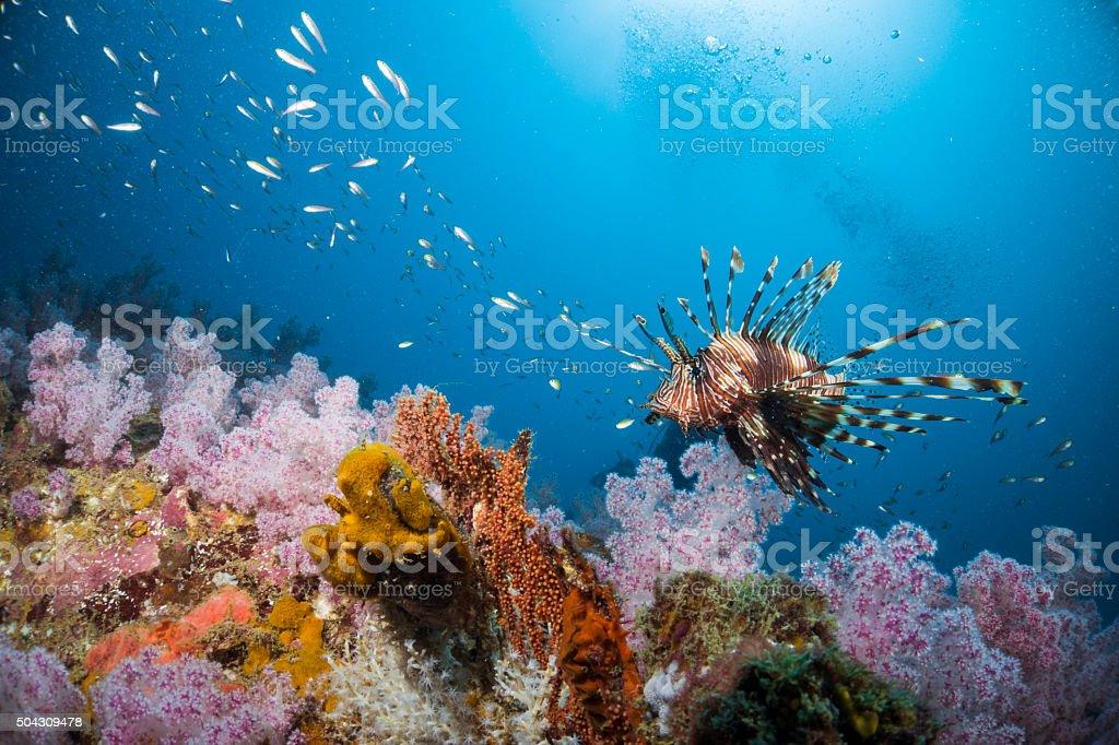 León swimmimg entre los peces corales suaves. - foto de stock