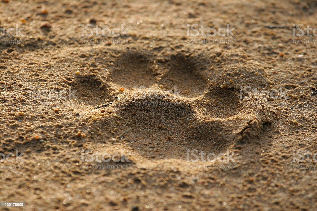Lion footprint stock photo