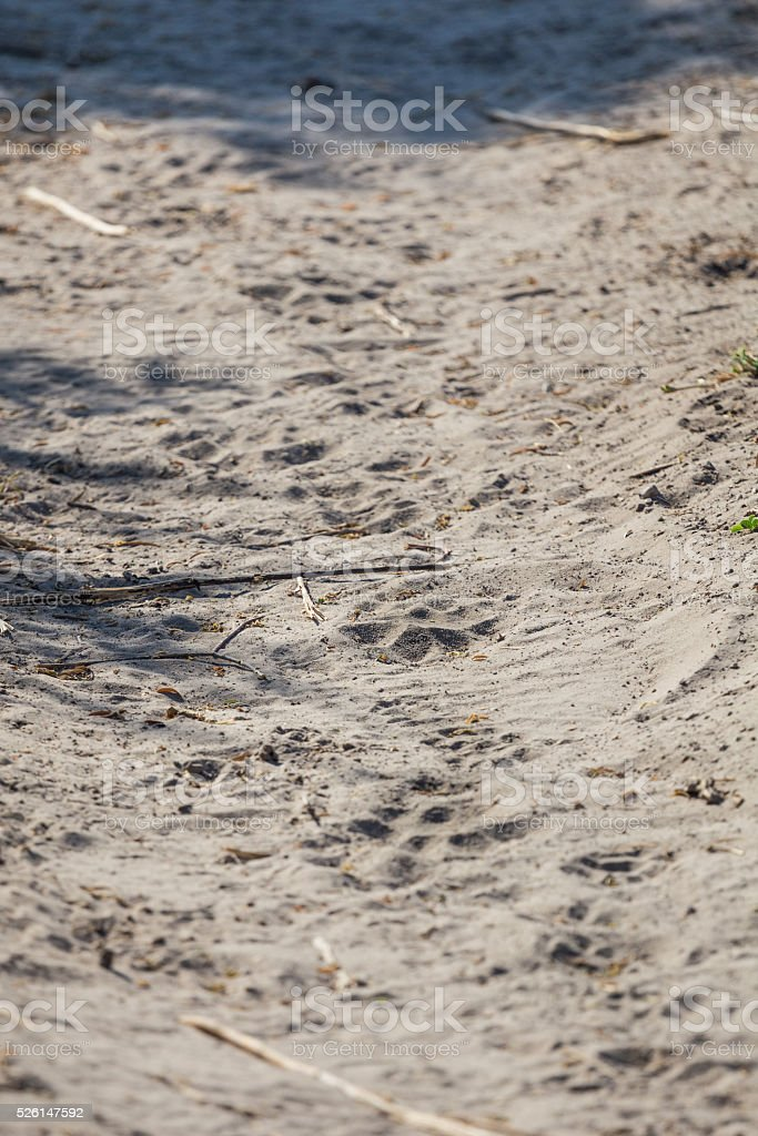Lion footsteps in the sand stock photo