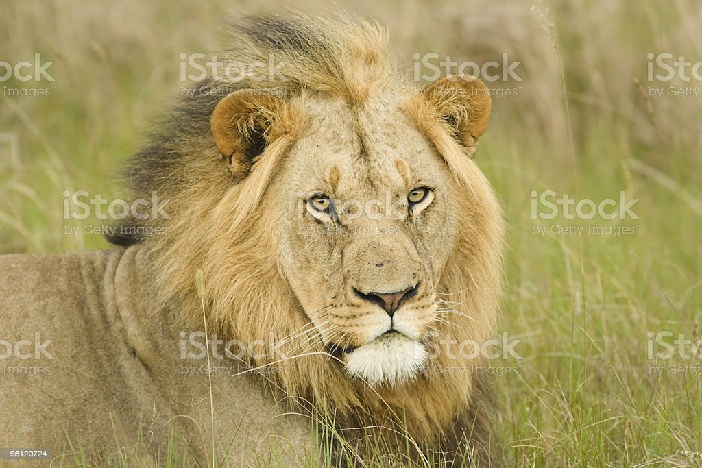 Lion front view royalty-free stock photo
