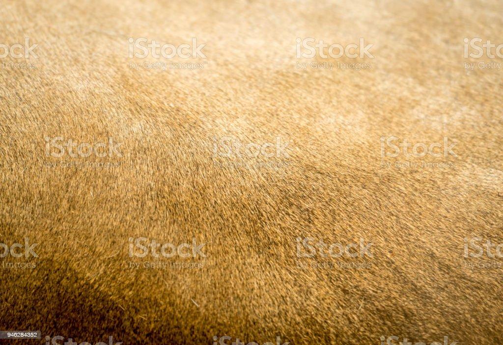 Lion Fur Texture stock photo