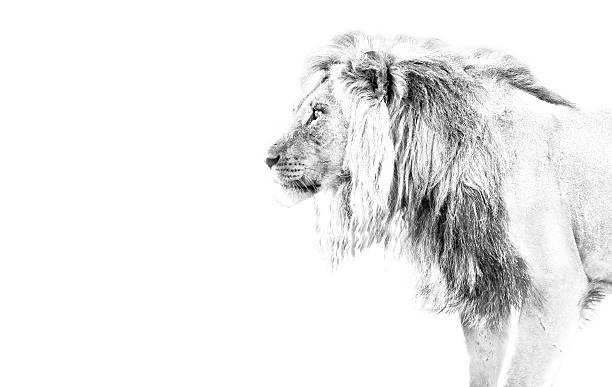 Lion hunting high key picture id471733303?b=1&k=6&m=471733303&s=612x612&w=0&h=o6ch6zn3rzjyfewnz5867efagfnfmcuiigltcvjyrus=