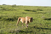 Lion hunting on the vast grassy plains of the Ngorongoro conservation area in Tanzania.