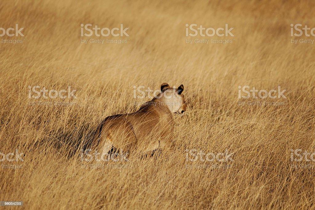 Leone caccia foto stock royalty-free