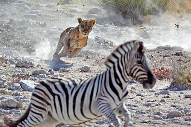 lion hunting zebra - big cat stock pictures, royalty-free photos & images