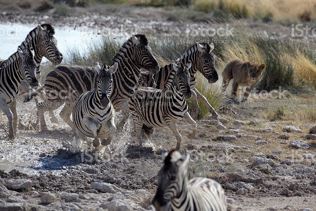 Lion hunting zebras stock photo
