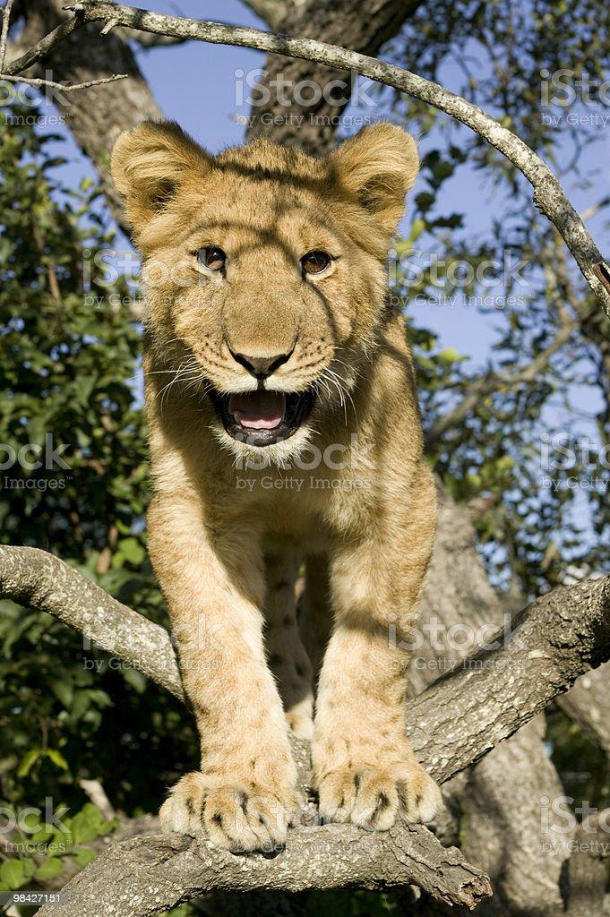 Leone in un albero foto stock royalty-free