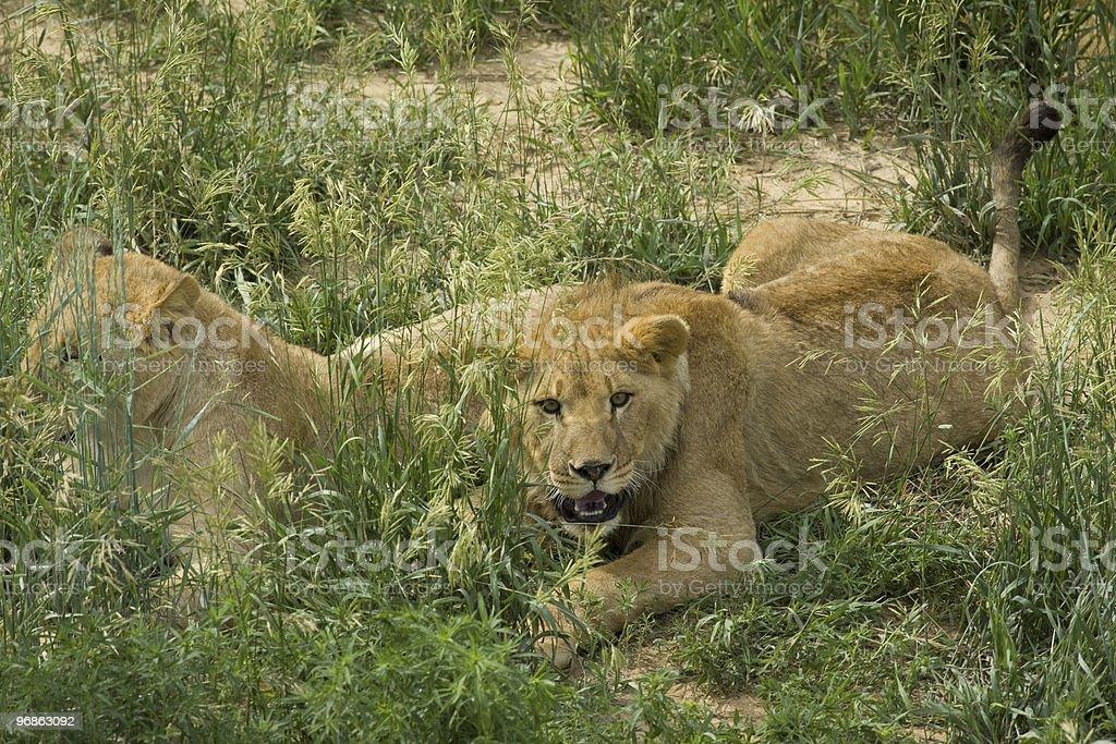 Lion in agressive position vor der Kamera Lizenzfreies stock-foto
